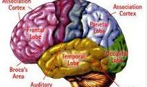 beyin_bolumleri2