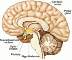 beyinepifizi1