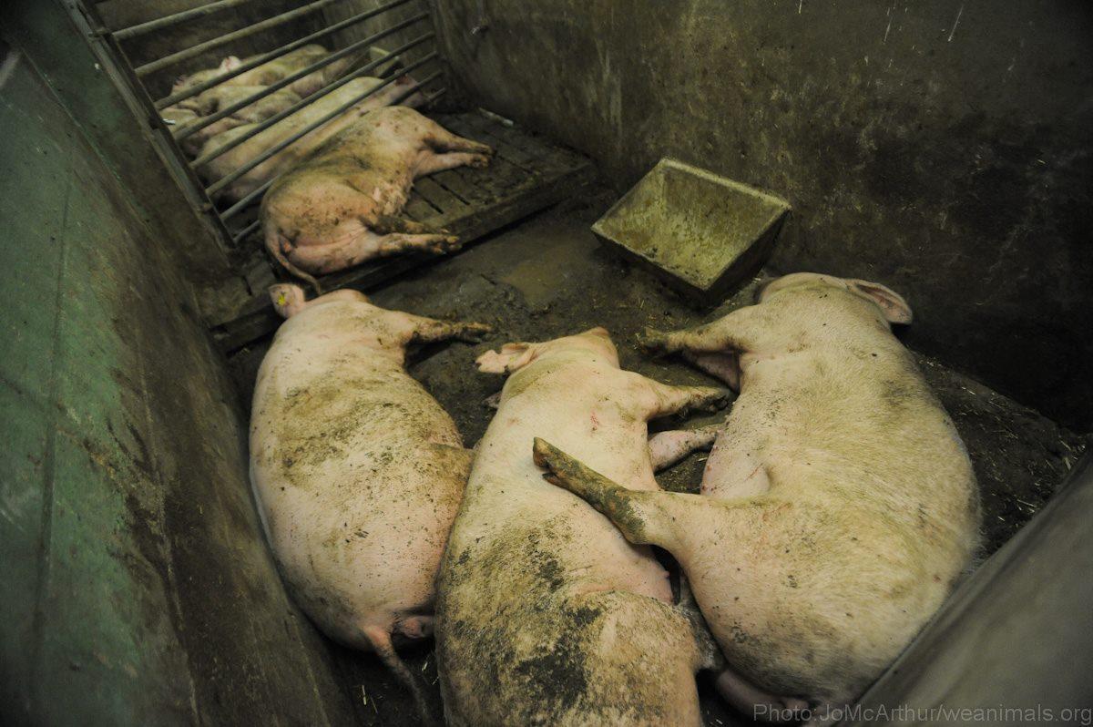 Evde domuz yağı nasıl tüketilir: 2 yol