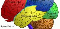 Beyin 40'ına kadar Tam Olarak Olgunlaşmıyor!
