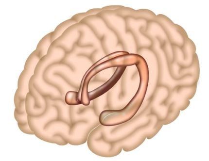 hipokampus